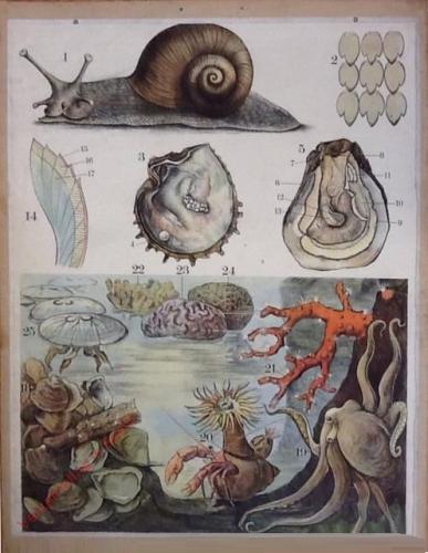 48 [2e druk] - Weinbergschnecke, echte Perlmuschel, Auster, Austernbank, rote Edelkoralle [Herschilderd]