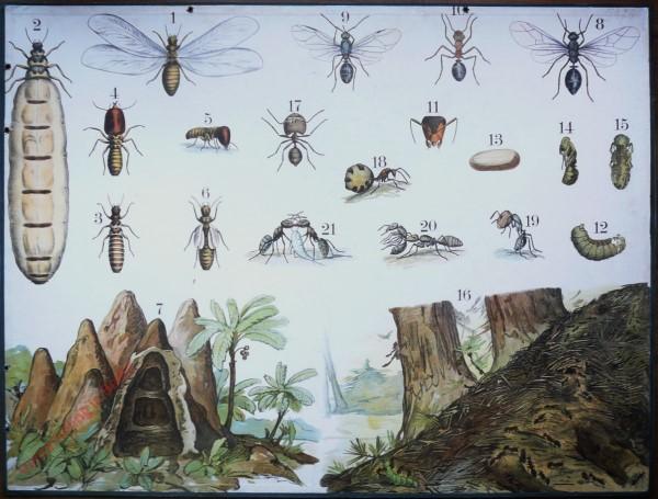 57 [2e druk] - Kote Waldameise, Termite [Doorsnede heuvel links]