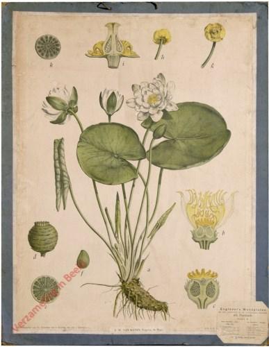 16 - Weisse und gelbe Seerose