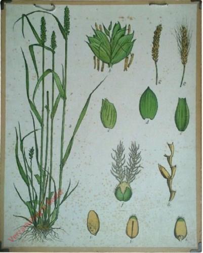 26 - Ährengras, Weizen (Triticum savitum Lam.)