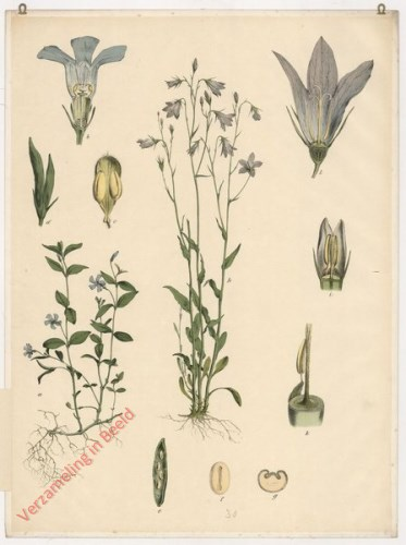 30 - Glockenblume, Immergrün