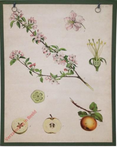 31 - Apfelbaum