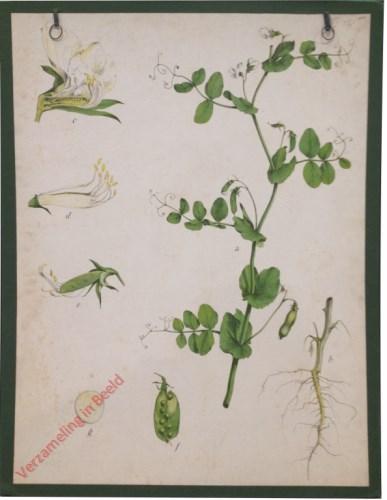 33 - Gartenerbse