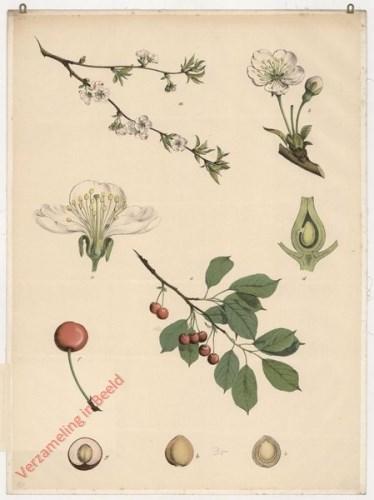 35 - Kirschbaum (sauer)