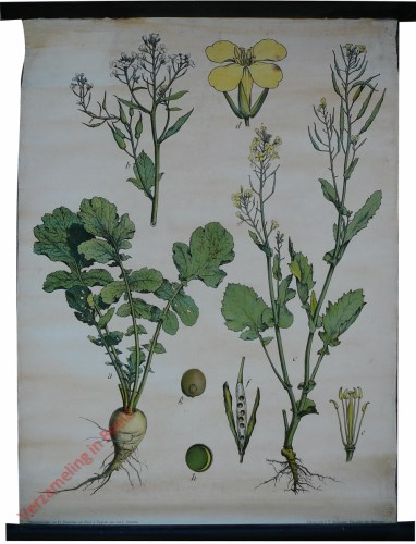 36 - Rettich (Raphanus Saticus L.), Kohlrübe (Brasica Napus L.)