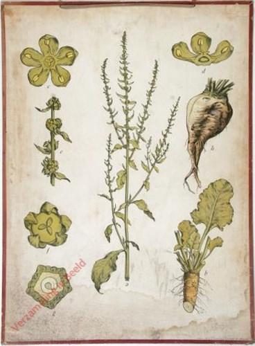 39 - Zuckerrübe (Rüben -Mangold)