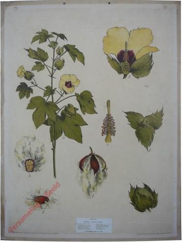 45 - Baumwollpflanze (Gossypium herbaceum)