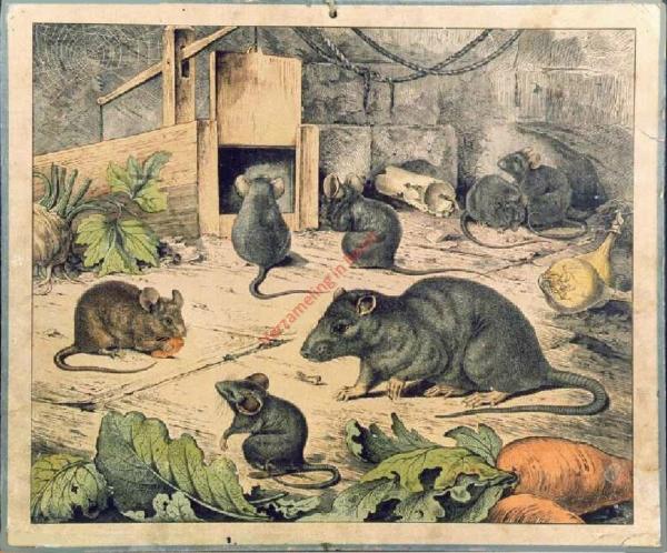 Maus und Ratte