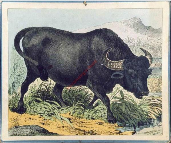 Wasserbüffel (2)