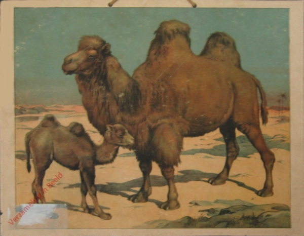 Kamel [herschilderd]