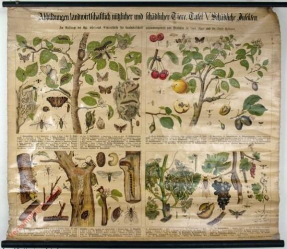 Tafel V - Schädliche Insekten [an Obstbäumen, Weinstöcken, Johannis- u. Stachelbeersträuchern]