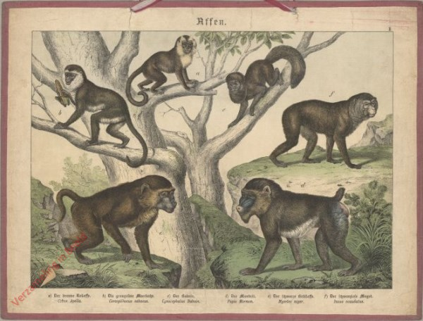 II [1886] - Affen