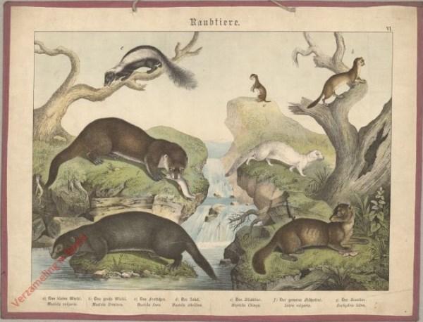 VI [1886] - Raubtiere, [Marterachtigen]