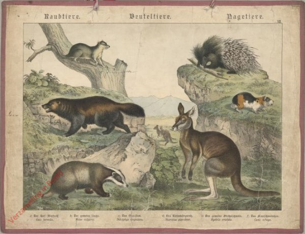 XII [1886] - Raubtiere, Beuteltiere, Nageltiere. Meerschweinchen-Oppossum