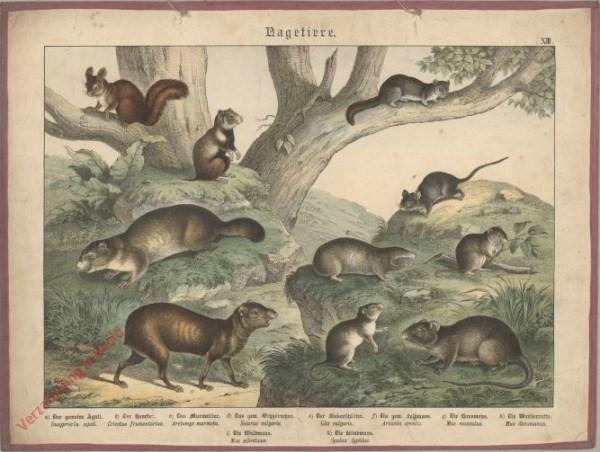 XIII [1886] - Nagetiere. Eichhörnchen, Hamster, Maus