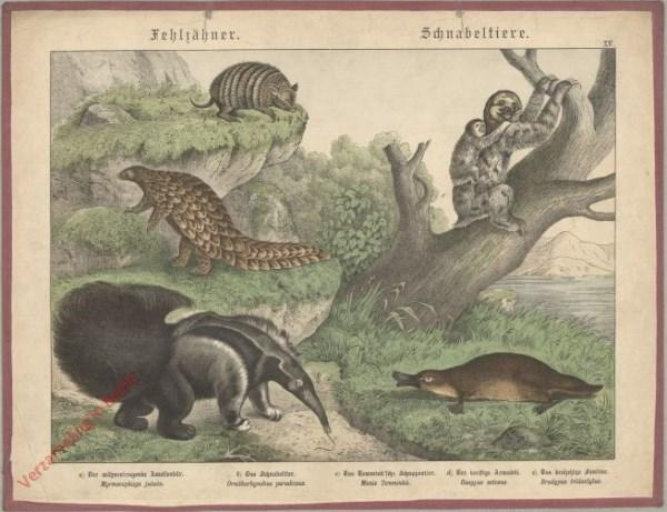 XV [1886] - Schnabeltiere. Schnabeltier, Faultier
