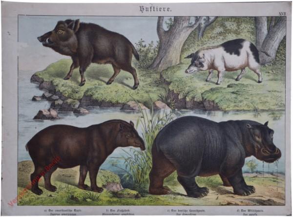 XVII [1886] - Huftiere. [Varken, Nijlpaard, Tapir]