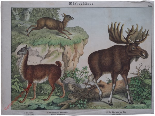 XIX [1886] - Wiederkäuer. [Eland, Lama]
