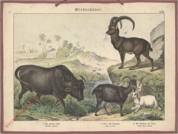 XXIV [1886] - Wiederkäuer. Buffel, Ziege, Steinbock