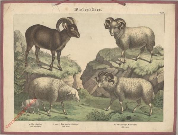 XXVI [1886] - Wiederkäuer. Mufflon, Landschaf, Merinoschaf [Zonder berg]