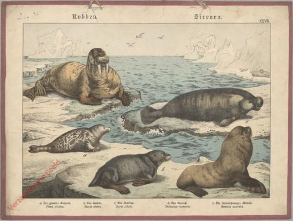 XXVIII [1886] -  Robben, Sirenen. Walross, Seelöwe, Seehund, Robben