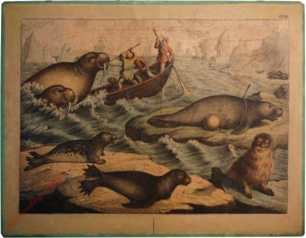 XXVIII [ouder] -  Robben, Sirenen. Walross, Seelöwe, Seehund, Robben [Jachtversie]
