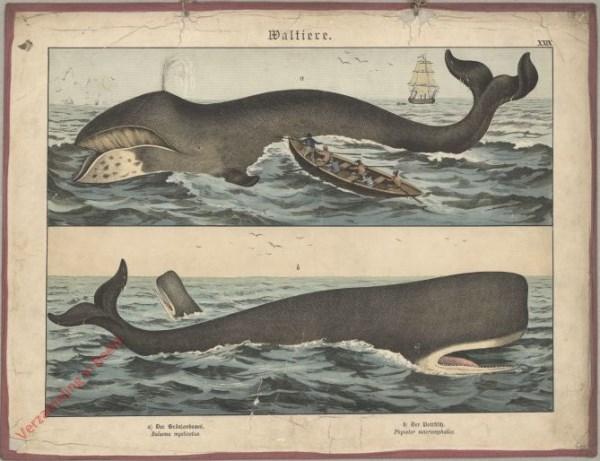 XXIX [1886] - Waltiere. [Vinvis, Potvis] [walvis met pokken op kin]