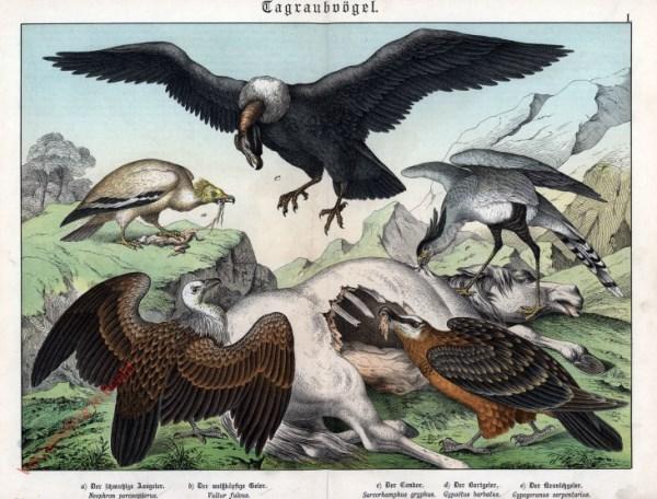 I [1886] - Tagraubvögel. Geier, Gondor
