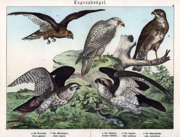 III [1886] - Tagraubvögel. Fischadler, Habicht, Falk, Buffard