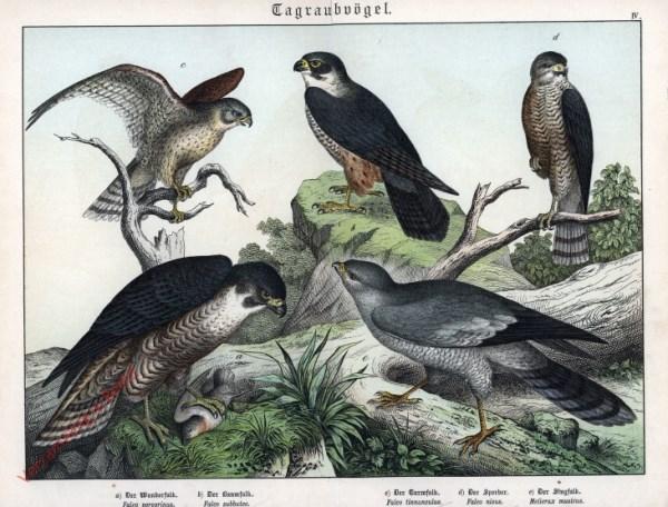 IV [1886] - Tagraubvögel. Falk, Sperber