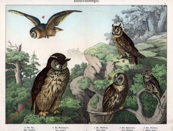 V [1886] - Nachtraubvögel