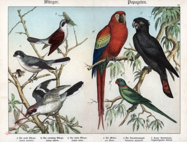 VI [1886] - Würger, Papageien. Makao, Würger, Kakadu