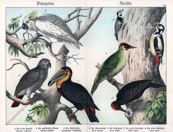 VII [1886] - Papageien, Spechte