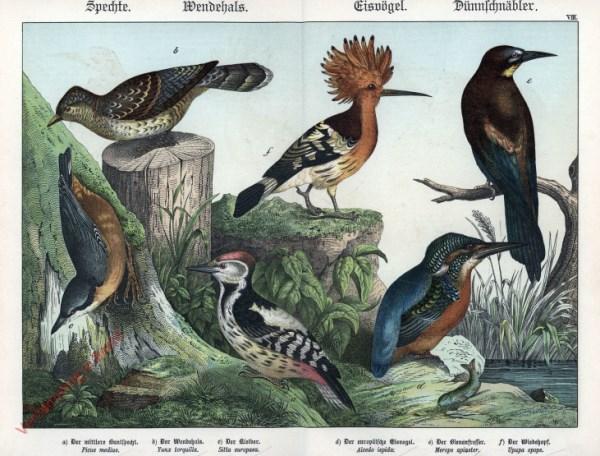 VIII [1886] - Spechte, Wendejals, Eisvögel, Dünnschnäbler