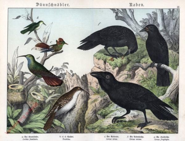 IX [1886] - Dünnschnäbler, Raben. Baumläufer, Kolibri, Krähe