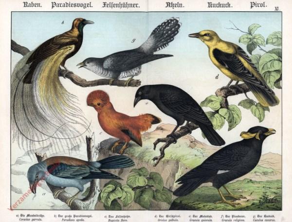 XI [1886] - Raben, Paradiesvögel, Fellenhühner