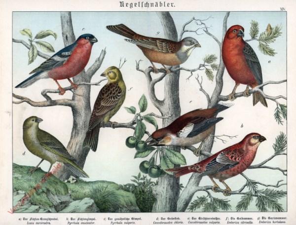 XIV [1886] - Kegelschnäbler. Pimpel, Grünfink, Goldammer