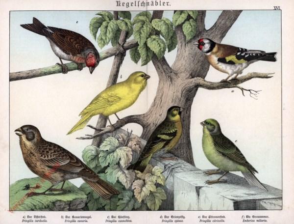 XVI [1886] - Kegelschnäbler. Distelfink, Kanarienvogel