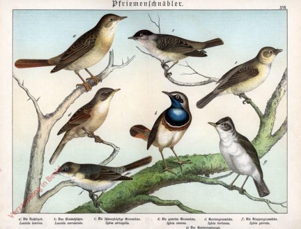 XVII [1886] - Pfriemenschnäbler. Nachtegall, Grasmücke