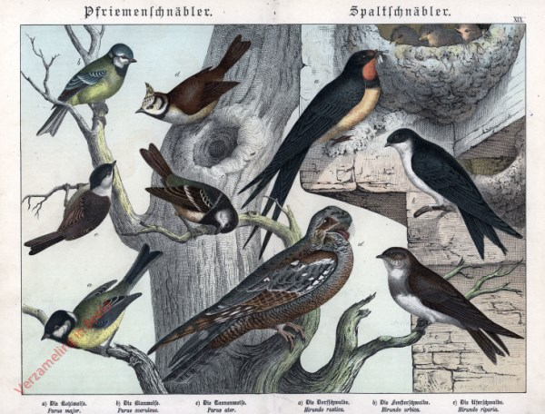 XIX [1886] - Pfriemenschnäbler, Spaltschnäbler