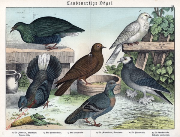 XX [1886] - Taubenartige Vögel