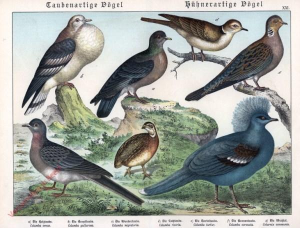 XXI [1886] - Taubenartige Vögel, Hühnerartige Vögel