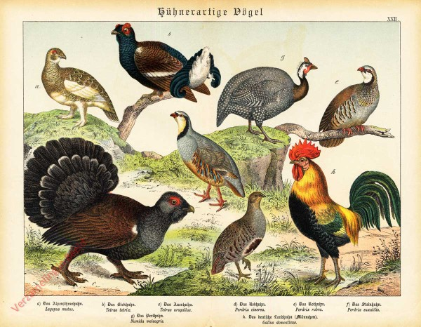 XXII [1886] - Hühnerartige Vögel. Hühn