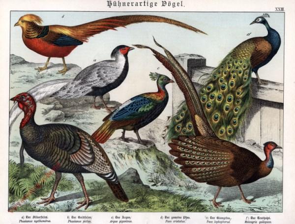 XXIII [1886] - Hühnerartige Vögel. Fasan, Argus, Pfau