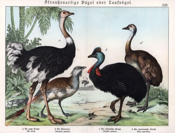XXIV [1886] - Straukenartige Vögel oder Laufvögel