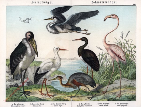 XXV [1886] - Sumpfvögel, Schwimmvögel
