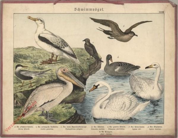 XXVIII [1886] - Schwimmvögel. [Pelikan, meeuw, zwaan, stern] [1886]