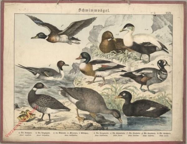 XXIX [1886] - Schwimmvögel. Ente, Gans [zonder ijsschots achter]