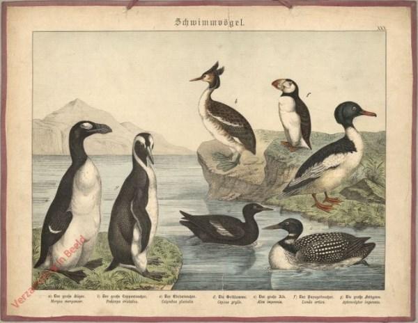 XXX [1886] - Schwimmvögel. [Fuut, pinquin, papagaaiduiker, bergeend] [rechtsboven geen rots]