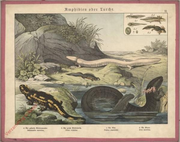 VI [1886] - Amphibien oder Lurche. Salamander